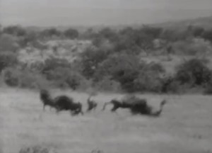Wagon Train shot wildebeest