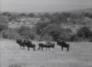 Wagon Train wildebeest