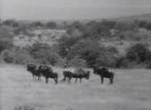 Wagon Train wildebeest