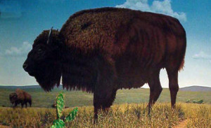 Photo (c) 2004 es. Buffalo exhibit, Nebraska City